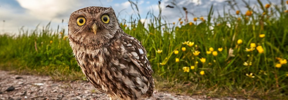 Little Owl. Photograph by Austin Thomas
