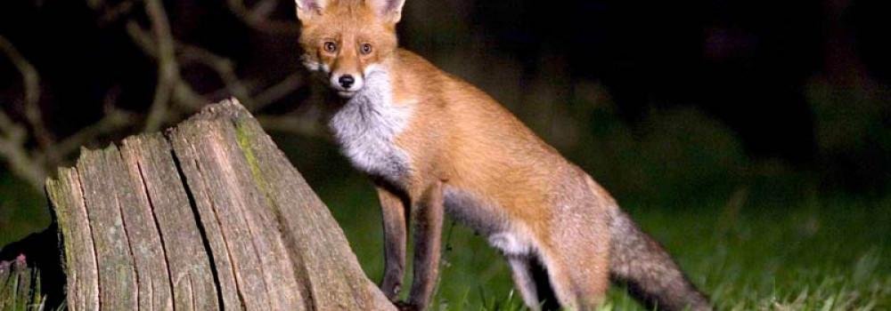 Red Fox. John Harding