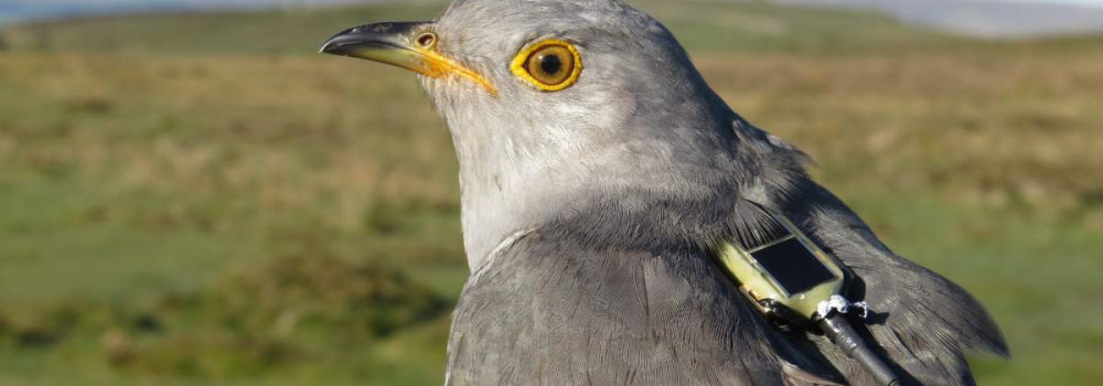 Tagged Cuckoo, photograph by Chris Hewson