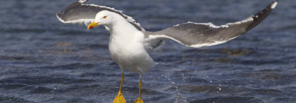 Lesser Black-backed Gull by Edmund Fellowes