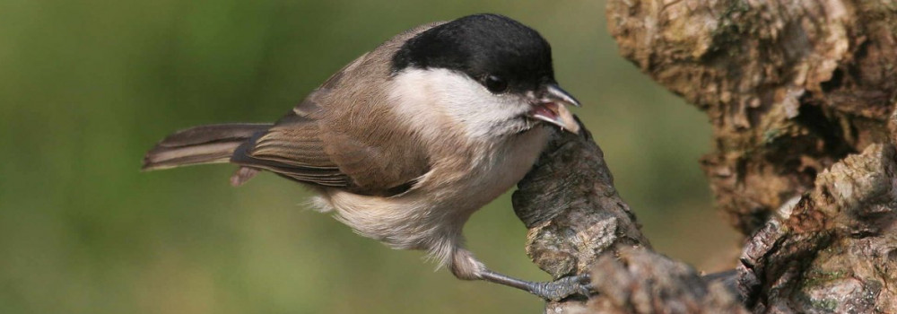 Marsh Tit, photograph by Jill Pakenham