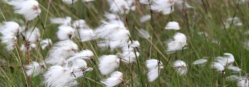 Cotton grass by Anne Carrington-Cotton