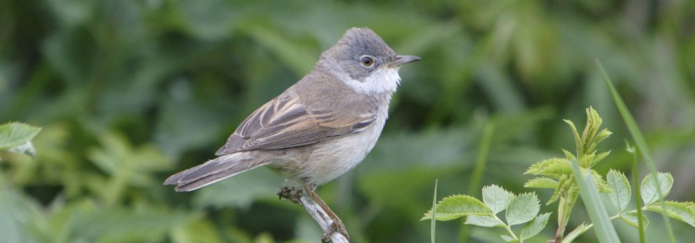 Whitethroat, photograph by John Proudlock