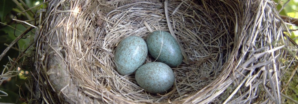 Blackbird Nest. Photograph by Herbert Howells