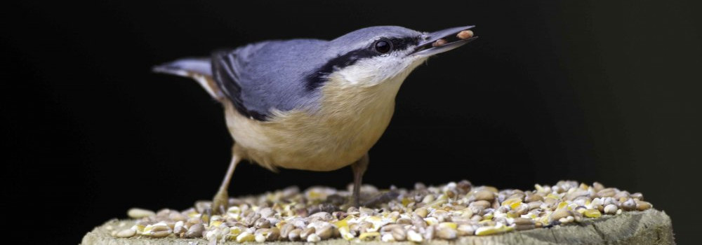 Nuthatch, photograph by John Harding