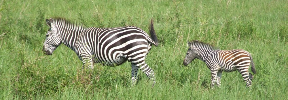 Zebras by Blaise Martay
