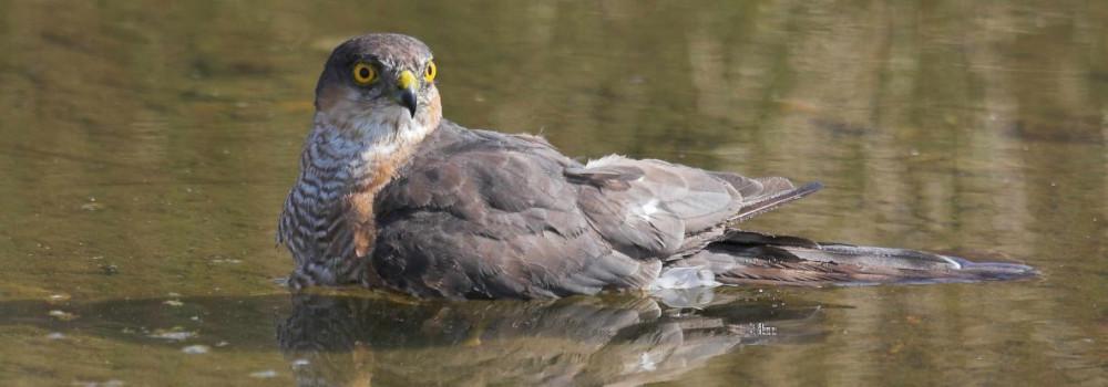 Sparrowhawk, photograph by Jill Pakenham