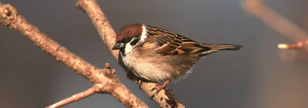 Tree Sparrow. © Darren Frost