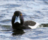 Tufted Duck by Edwyn Anderton