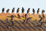 Starlings by Allan Drewitt