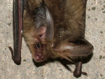 Long-eared Bat, photograph by Jez Blackburn