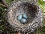 Blackbird nest, photograph by Herbert&Howells