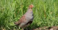 Grey Partridge, by Jill Pakenham