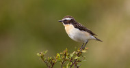 Whinchat, by Edmund Fellowes