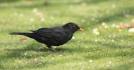 Blackbird. Photograph by Paul Newton