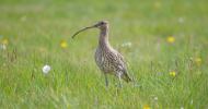 Curlew by Neil Calbrade