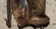 Long-eared Bat, photograph byJez Blackburn