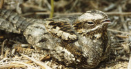 Nightjar, photograph by John Bowers