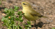 Willow Warbler, photograph by Jill Pakenham