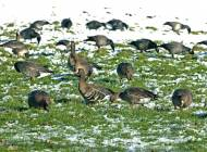 European White-fronted Goose - image by Chris Knights