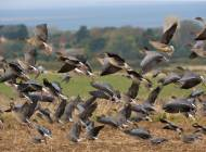 Pink-footed Geese - image by Chris Knights