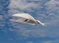 Arctic Tern Photographer Jeremy Moore