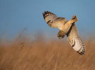 Short-eared Owl. Photograph of Andy Howe