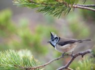 Crested Tit by Sarah Kelman
