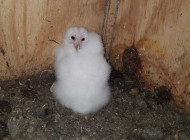 Barn Owl chicks in a nest box, by Lee Barber