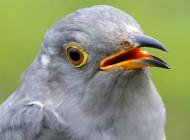 Attenborough the Cuckoo