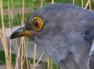 Carlton II the Cuckoo