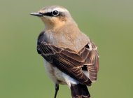 Wheatear by Amy Lewis