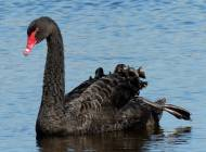 Black Swan by Moss Taylor/BTO