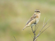 Whinchat by Nick Moran