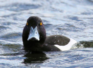 Tufted Duck by Edwyn Anderton