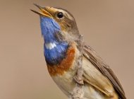 Bluethroat by Paul Cools