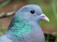 Stock Dove by Nick Stacey