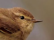 Chiffchaff by Gray Clements