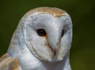 Barn Owl by Gray Clements