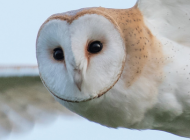 Barn Owl by Matt Hazleton