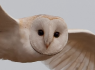 Barn Owl by Richard Saxton