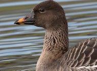 Tundra Bean Goose by jdwildlife