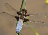 Broad-bodied Chaser by Mike and Brenda Gough