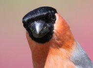 Bullfinch by Edwyn Anderton