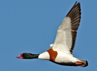 Shelduck by Clive Brown