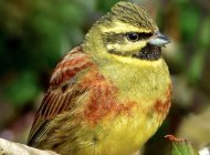 Cirl Bunting by Jeff Lack