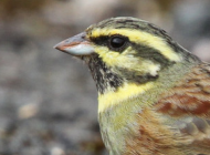 Cirl Bunting by Steve Carey