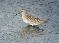 Curlew Sandpiper by Stephen McAvoy