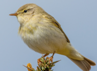 Willow Warbler by Jeff Lack
