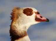 Egyptian Goose by Chris Thornton